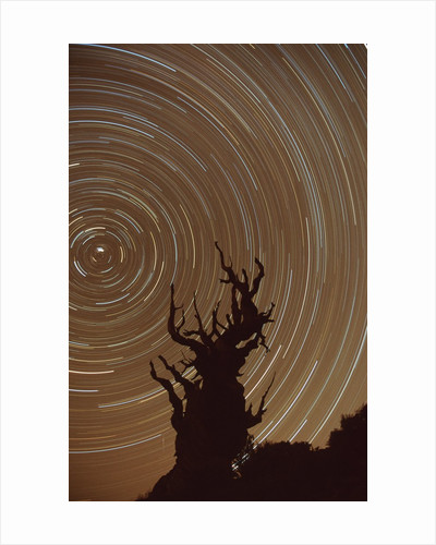 Star Trails and Bristlecone Pine Tree by Corbis