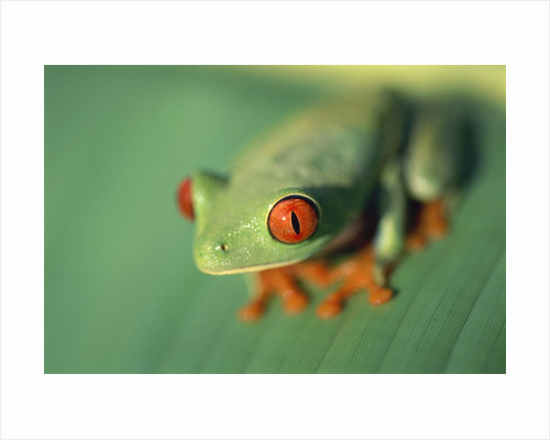 Red Eyed Tree Frog by Corbis