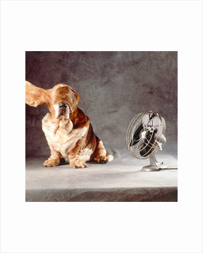 "A basset who is sitting with ""flying"" ears in front of a ventilator by Corbis"