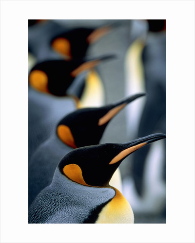 Group of king penguins by Corbis