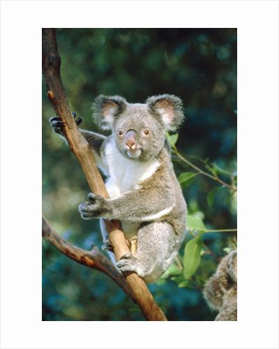 Koala on a tree by Corbis