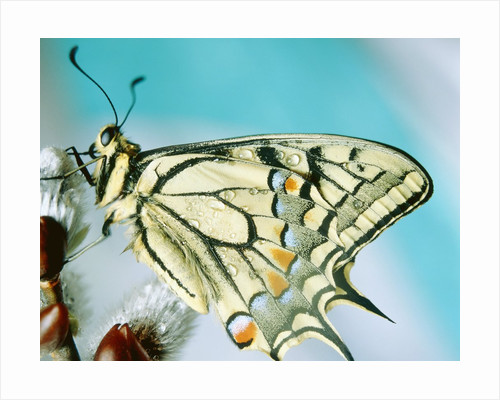Swallowtail butterfly sitting on a blossom by Corbis