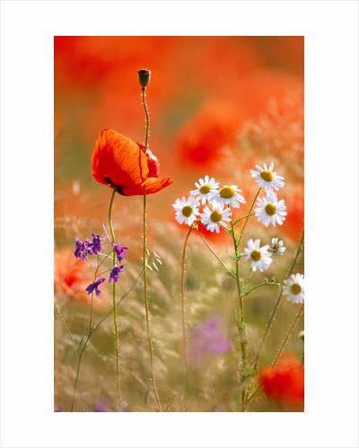 Poppy, camomile and larkspur by Corbis