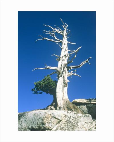 Dead tree in the Yosemite National Park, California, USA by Corbis
