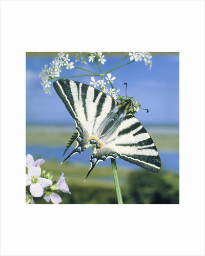 Sail butterfly sitting on a blossom by Corbis