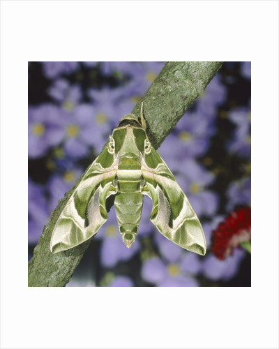 Oleander hawk moth sitting on a branch by Corbis