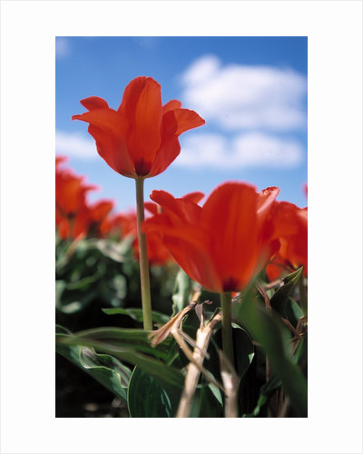 Red tulips by Corbis