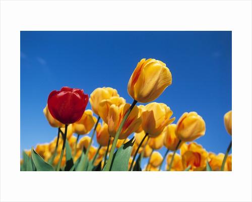 Yellow tulips by Corbis