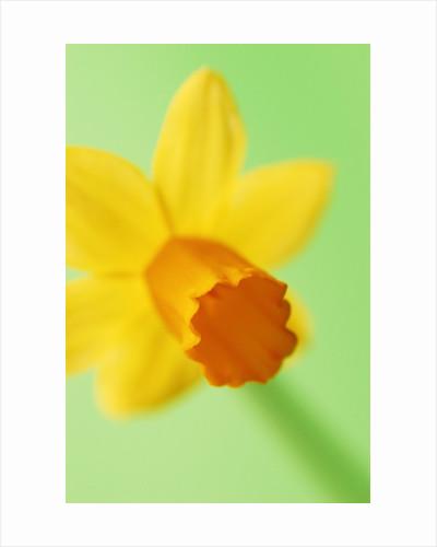 Yellow daffodil by Corbis