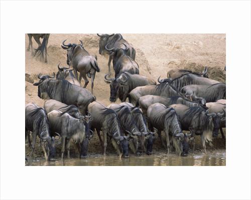 Wildebeest Drink from Mara River by Corbis