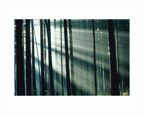 Sunbeams streaming through forest by Corbis