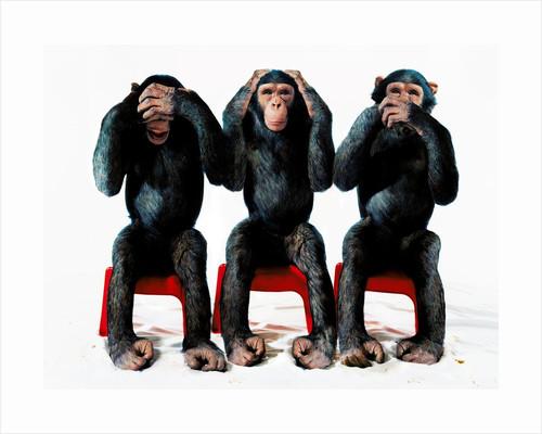 Three chimpanzees by Corbis