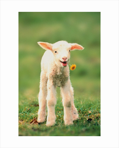 Lamb holding dandelion in mouth by Corbis