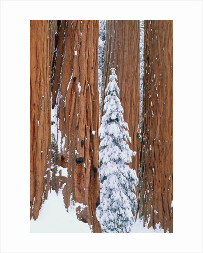 Conifer and redwood forest in winter by Corbis