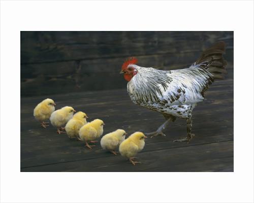 Hen with her chicken by Corbis