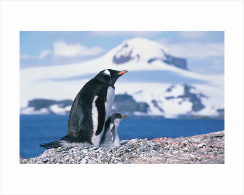 Mother and baby gentoo penguins by Corbis