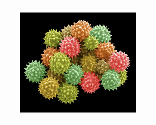 Pollen Grains by Corbis
