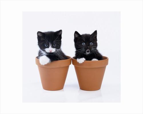 Two Kittens in Flower Pots by Corbis