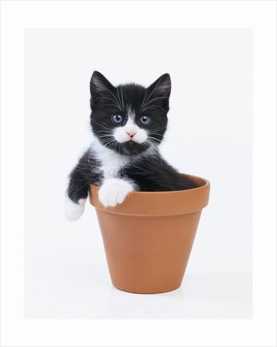 Kitten in Flower Pot by Corbis