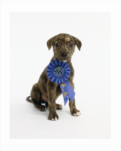 Pit Bull Puppy with 1st Place Ribbon by Corbis