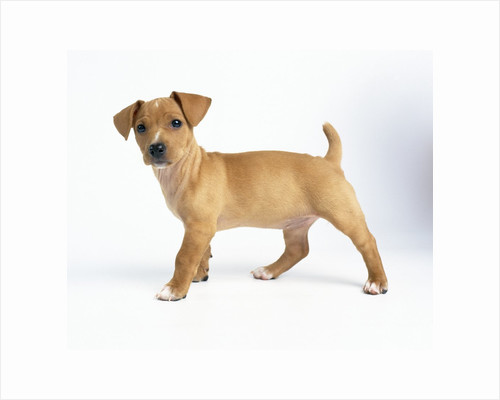 Curious Tan Terrier Puppy by Corbis
