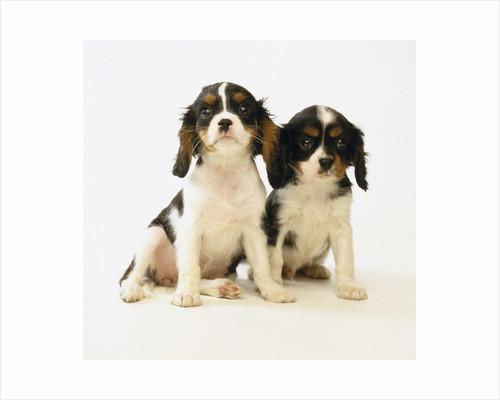 Cavalier King Charles Spaniel Puppies by Corbis