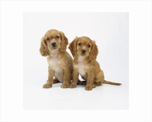 Cocker Spaniel Puppies by Corbis