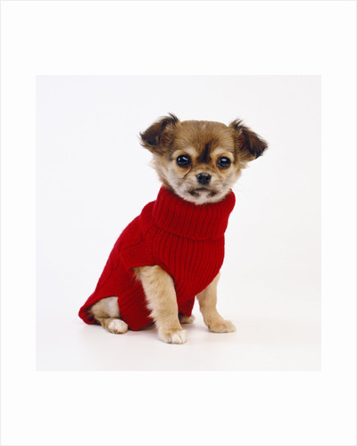 Puppy in Sweater by Corbis