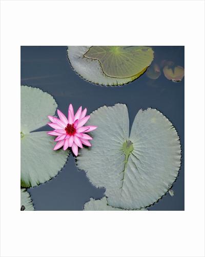 Water Lily on Hoan Kiem Lake, Hanoi, Vietnam by Corbis