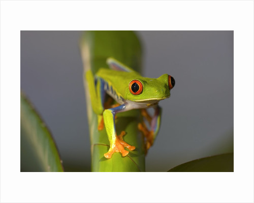 Red-Eyed Leaf Frog by Corbis