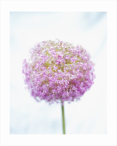 Purple Allium by Corbis