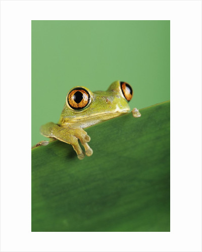 Frog Clinging to Leaf by Corbis