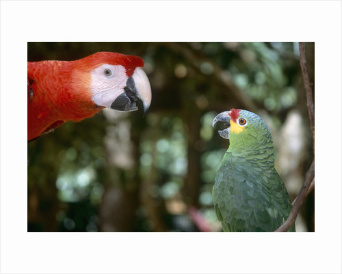 Scarlet Macaw and Red-Lored Amazon Parrot by Corbis