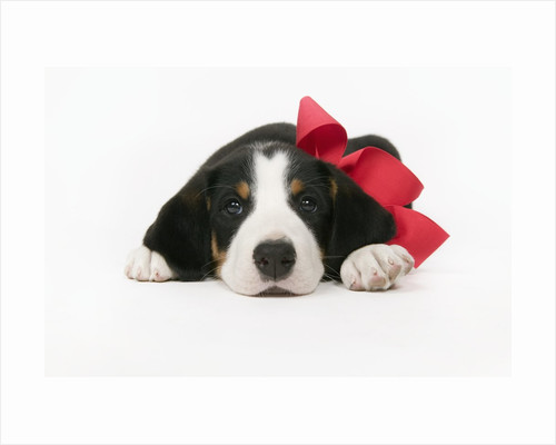 Puppy Wearing Red Bow by Corbis