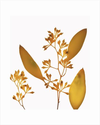 Yellow Eucalyptus by Corbis