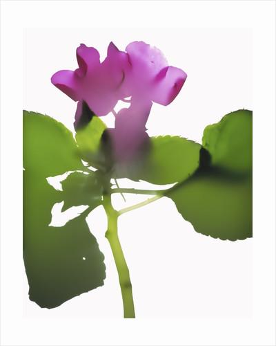 Purple Impatiens by Corbis