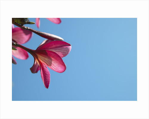 View of pink flowers against blue sky by Corbis