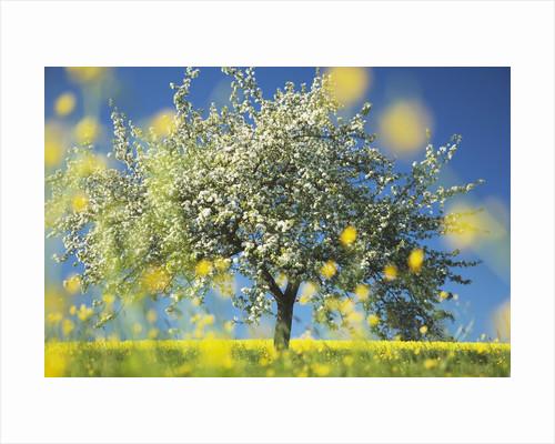 Apple Tree in Bloom by Corbis