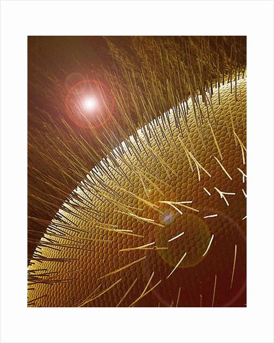 Compound Eye of Honeybee by Corbis