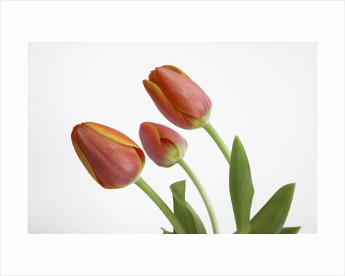 Bent Red Tulips by Corbis