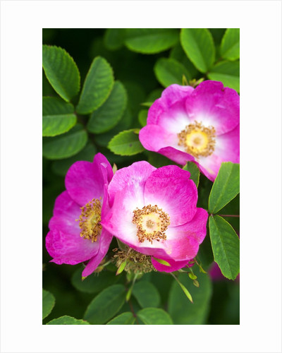 Pink Flowers by Corbis