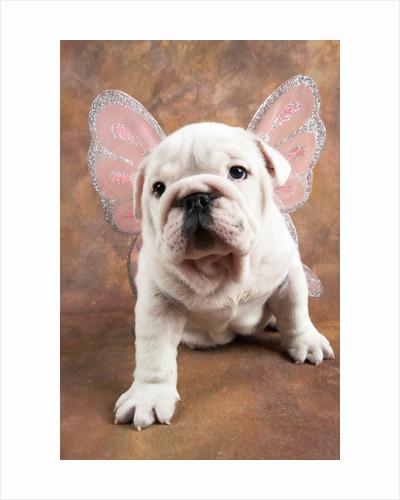 Bulldog Puppy Wearing Angel Wings by Corbis