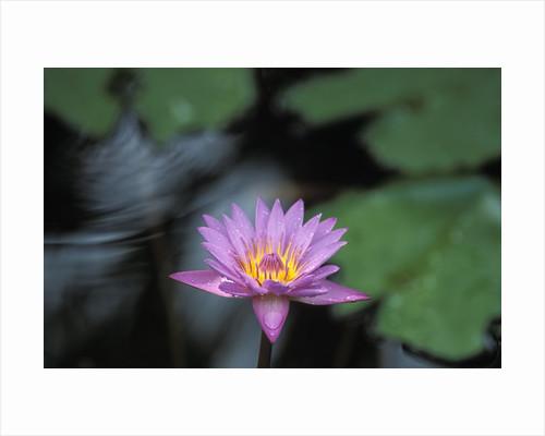 Lotus flower posters lotus flower prints lotus flower by corbis mightylinksfo