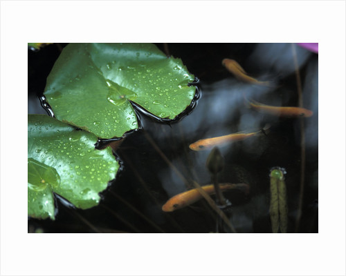Goldfish and Lily Pads by Corbis