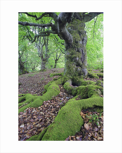 Old Tree With Surface Roots in Forest by Corbis