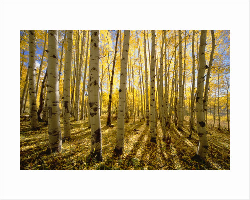 Aspen Trees in Autumn by Corbis
