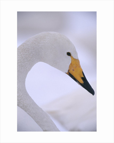 Whooper Swan by Corbis