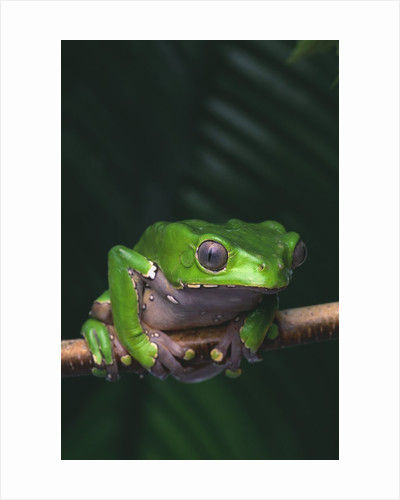 Monkey Tree Frog Perched on Twig by Corbis