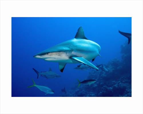 Gray Reef Shark by Corbis