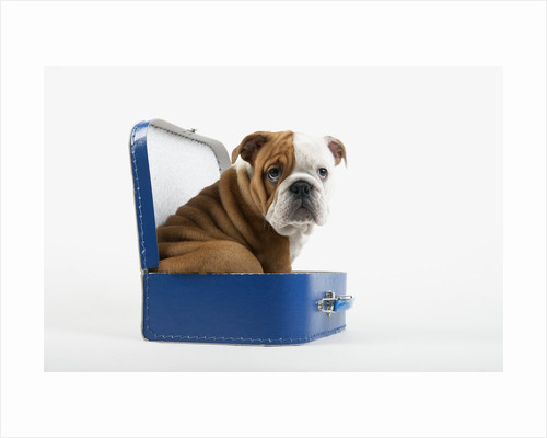 English Bulldog Puppy Sitting in a Lunch Box by Corbis